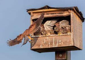 Torenvalkjes in nestkast voeren